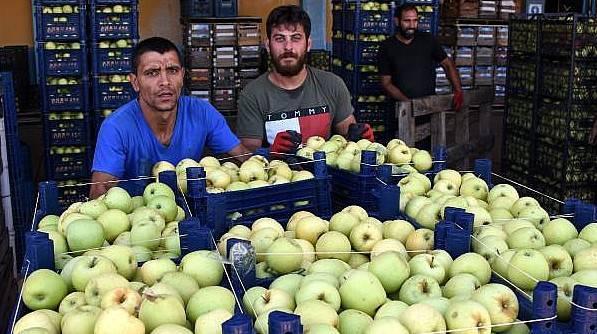 Bayramiç Elması Üreticinin Yüzünü Güldürdü