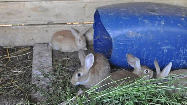Melez Tavşanlar İlgi Odağı Oldu