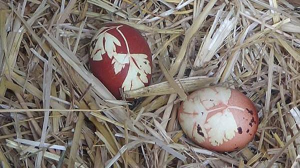 Maydanozla Beslediği Tavuk, Maydanoz Desenli Yumurta Yumurtladı