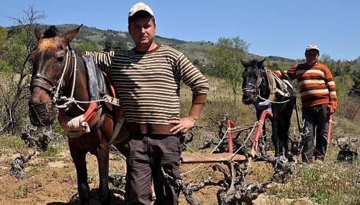 Traktör Girmeyen Bağlar, Atlarla Sürülüyor