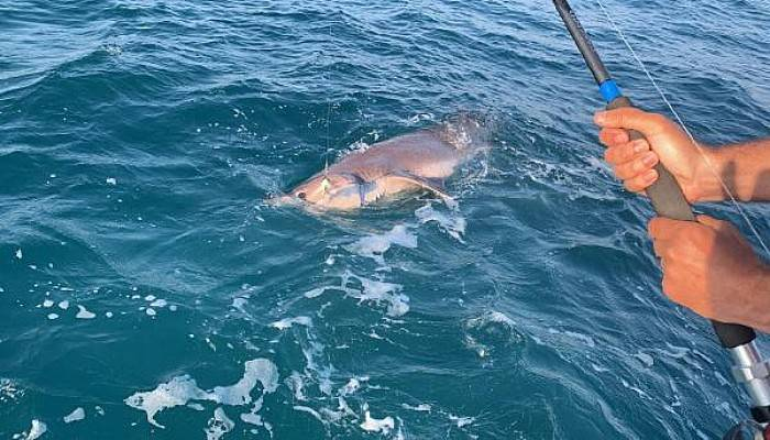 Çanakkale'de Oltaya 4 Metre Uzunluğunda Köpek Balığı Takıldı