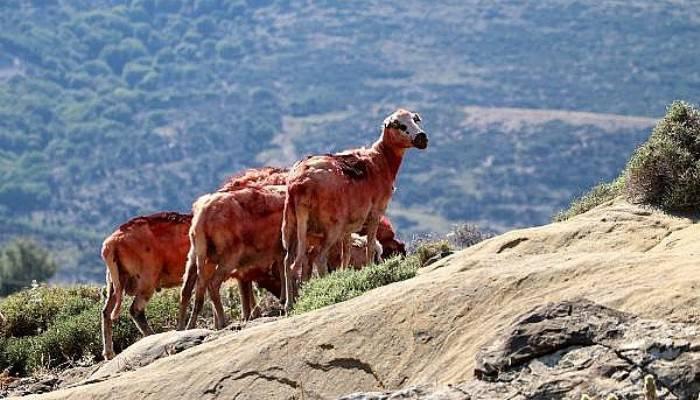 Gökçeada'da 'Özgür Koyunlar' Kırkılıp,Boyandı