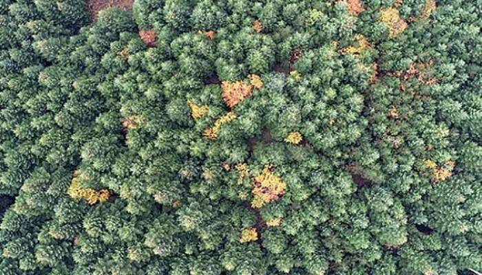 Tarihe Yön Veren Ağaç... Yeryüzünde Tek Doğal Bulunuş Yeri, Kazdağları
