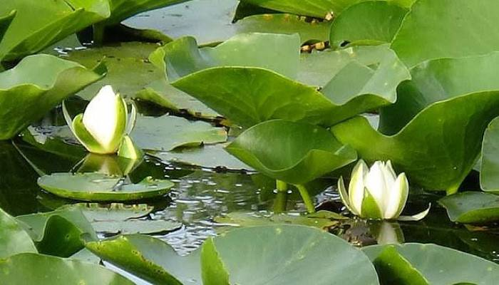 Nilüfer Gölü'nde Açan Beyaz Renkli Çiçekleri Koparmanın Cezası 73 Bin TL