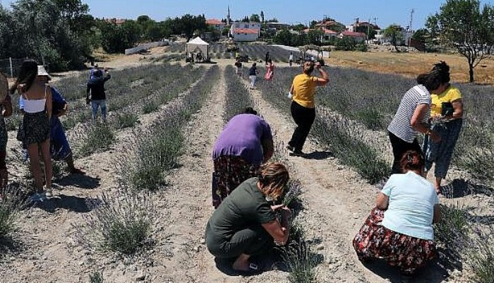 Tarihi Gelibolu Yarımadası'ndaki Lavantaların Hasadı Yapıldı