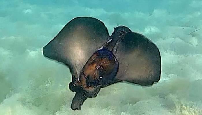 Çanakkale Boğazı'nda Deniz Tavşanlarını Çiftleşirken Görüntüledi