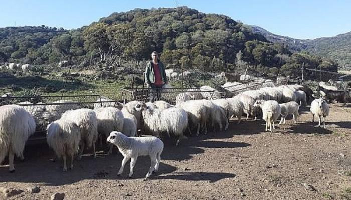 Gökçeada'nın 'Özgür Koyun'ları