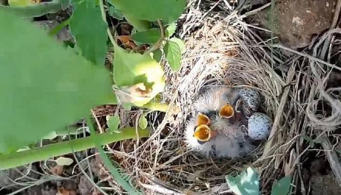 Marul Bahçesindeki Kuş Yuvasında 5 Yavruyla Karşılaştı