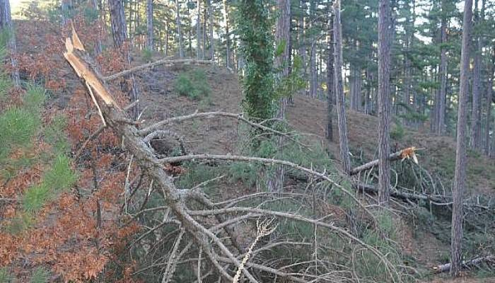 Kaz Dağları'nda Kar ve Fırtına, Ağaçlara Zarar Verdi