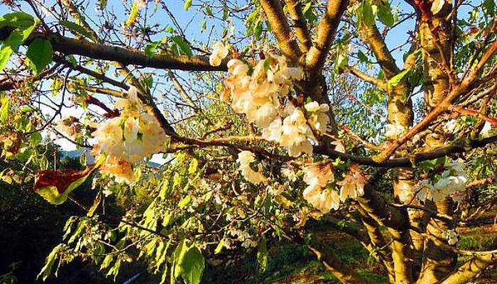 Kaz Dağları Eteklerinde Kiraz Ağaçları Çiçek Açtı