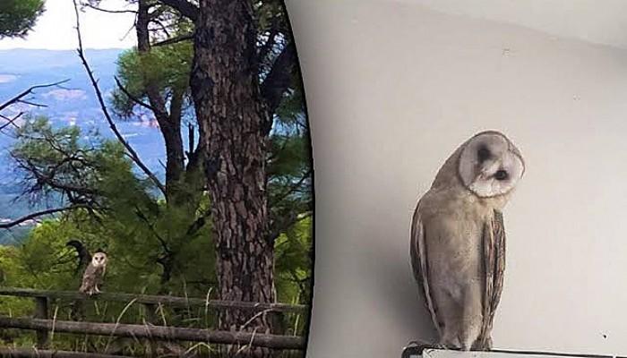 Yavru Peçeli Baykuş 'Fışfış', 3 Aylık Bakım Sonrası Doğaya Salındı
