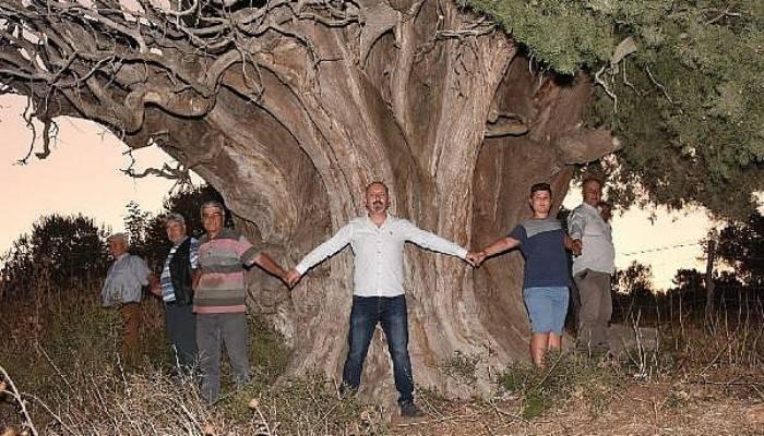 Bin Yıllık Olduğu Öne Sürülen Dev Servi İçin 'Anıt Ağaç' Tescili İsteği