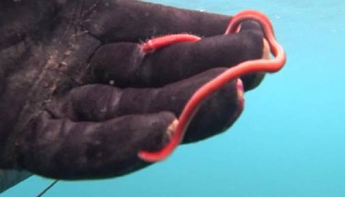 Rekortmen Dalgıç, 15 Santimlik Deniz Solucanını Görüntüledi