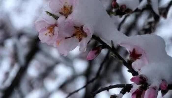 Badem Ağaçlarının Açan Çiçeklerinin Üzerine Kar Düştü