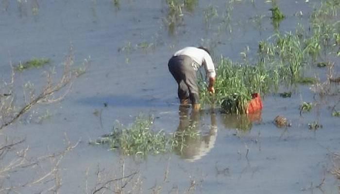 Bayramiç'te Ispanak Su Altında Kaldı, Fiyatı 8 Liraya Çıktı