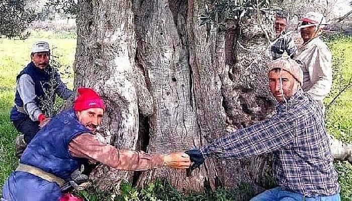 Bayramiç'te, 600 Yıllık Zeytin Ağacı Tescillenmeyi Bekliyor