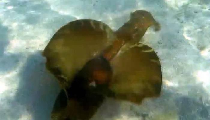 Çanakkale Boğazı'nda Deniz Tavşanı Görüntülendi