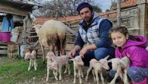 Bayramiç'te Koyun, Tek Batında 6 Yavru Doğurdu