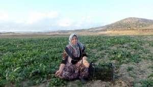Baraj Havzasında Doğal Ispanak Yetiştiriyorlar
